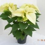 White 3 Plant