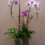 Blushing Orchid Centerpiece with Grapewood