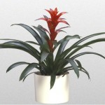 Bromeliad – Ostara
