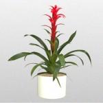 Bromeliad – Rana