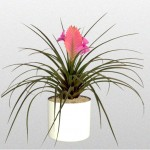 Bromeliad – Cyanea