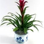 Bromeliad Gift 1