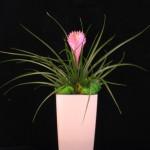 Bromeliad Gift 2