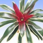Bromeliad - Raphael
