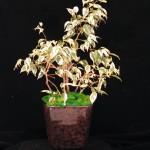 Ficus Gift