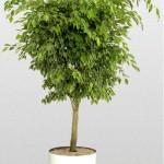 Ficus Benjamina Golden Princess
