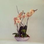 Glam Mini Orchids