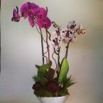 Inkblot Orchids