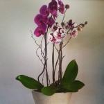 Inkblot Orchids in Neutral Pot