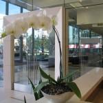 Modern White Phalaenopsis