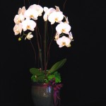 Orchid Gift 1