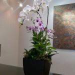 Seasonal Spring Dendrobiums