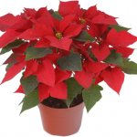 Grower Select Poinsettias