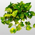 Devils Ivy - Golden Pothos