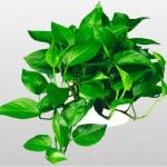 Devils Ivy - Jade