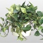 Devils Ivy - Marble Queen