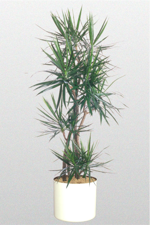 A plant affair llc los angeles leading interior plant for Dracaena marginata