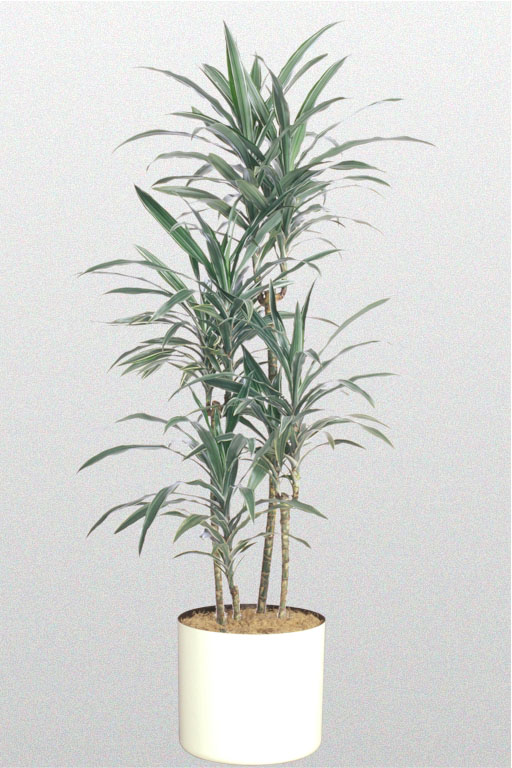 A plant affair llc los angeles leading interior plant for Plante dracaena