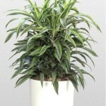 Dracaena Warneckii 'Lemon-Lime'