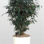 Ficus Benjamina Column