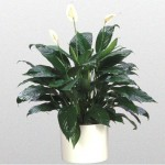 Peace Lily - Taylors Green