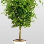 Ficus Benjamina Standard